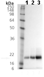 SDS-PAGE - CRYGD protein (ab113186)