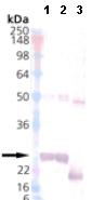 Western blot - alpha A Crystallin protein (ab113189)