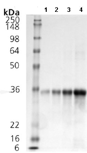 SDS-PAGE - DKK1 protein (ab113191)