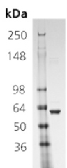 SDS-PAGE - Hsp60 protein (ab113192)
