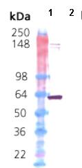 Western blot - Hsp60 protein (ab113192)