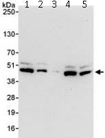 Western blot - ILF2 antibody (ab113205)