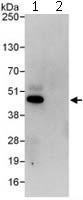 Immunoprecipitation - ILF2 antibody (ab113205)