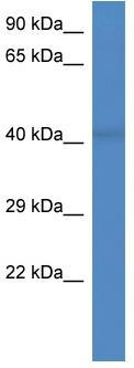 Western blot - RGD1307041 antibody (ab113219)