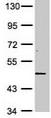 Western blot - DR3 antibody (ab113223)