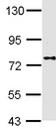 Western blot - DPP8 antibody (ab113226)