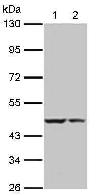 Western blot - BRCC45 antibody (ab113240)
