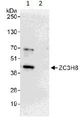 Immunoprecipitation - ZC3H8 antibody (ab113260)