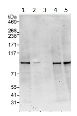 Western blot - CTBP2 antibody (ab113265)