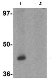 Western blot - Protor-1 antibody (ab113269)