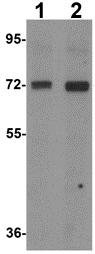 Western blot - Anti-CD229 antibody (ab113285)