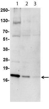 Western blot - Histone H2A.X antibody (Biotin) (ab113290)