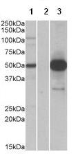 Western blot - COPS3 antibody (ab113365)