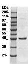 Western blot - skeletal muscle Actin antibody (ab113417)