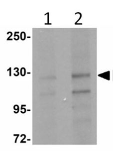 Western blot - FRMPD4 antibody (ab113420)