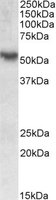 Western blot - ROR gamma antibody (ab113434)