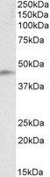 Western blot - NDRG2 antibody (ab113439)