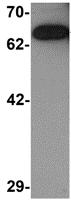 Western blot - Anti-Rabex5 antibody (ab113480)