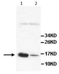 Western blot - AGRP antibody (ab113481)