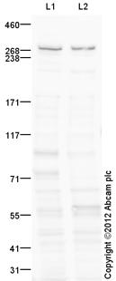 Western blot - Anti-Rotatin antibody (ab113541)