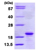 SDS-PAGE - SIT protein (ab113580)