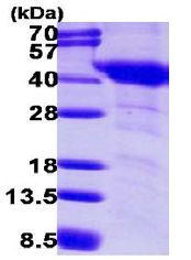 SDS-PAGE - G protein alpha inhibitor 1 (ab113585)