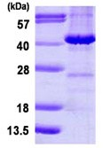 SDS-PAGE - EB2 protein (ab113592)