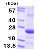 SDS-PAGE - COPS8 protein (ab113601)