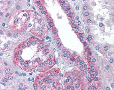 Immunohistochemistry (Formalin/PFA-fixed paraffin-embedded sections) - Flotillin 2 antibody (ab113661)