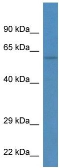 Western blot - TEKT3 antibody (ab113662)