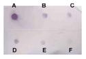 Dot Blot - Histone H3 (acetyl K9) antibody (ab113674)