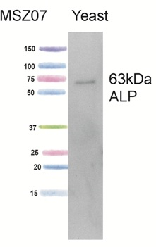 Western blot - Repressible alkaline phosphatase antibody [1D3A10] (ab113688)