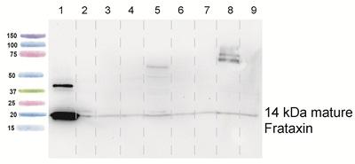 Western blot - Frataxin antibody [17A11] (ab113691)