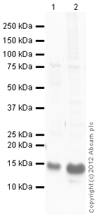 Western blot - Anti-Endothelin 1 antibody (ab113697)