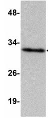Western blot - HAAO antibody (ab113716)