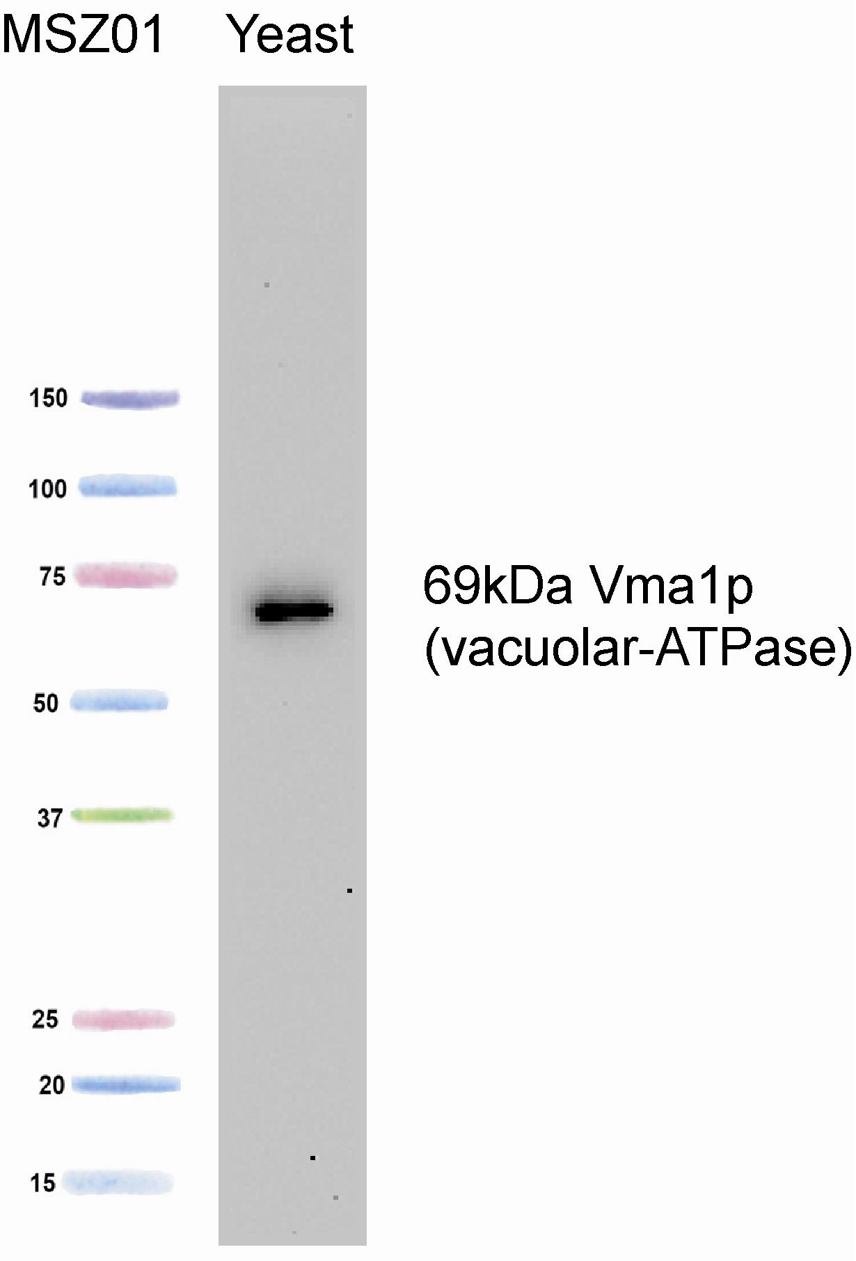 Western blot - V-type proton ATPase catalytic subunit A antibody [8B1F3] (ab113745)