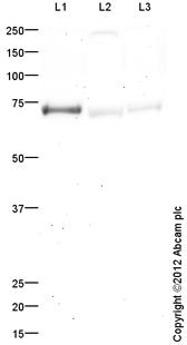 Western blot - Anti-BCNP antibody (ab113755)