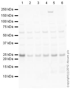 Western blot - Anti-SCO2 antibody (ab113758)