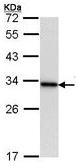 Western blot - 14-3-3 alpha + beta antibody (ab113769)