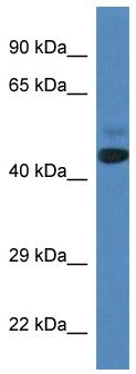 Western blot - SPRYD3 antibody (ab113782)