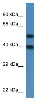Western blot - NUP37 antibody (ab113787)