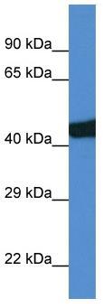 Western blot - Sec14l3 antibody (ab113799)