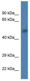 Western blot - PRIM1 antibody (ab113804)