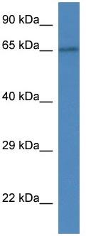 Western blot - SLC15A3 antibody (ab113819)