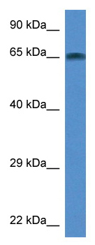 Western blot - TAF6L antibody (ab113831)