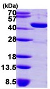SDS-PAGE - GMDS protein (ab113860)