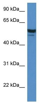 Western blot - SDPR antibody (ab113876)