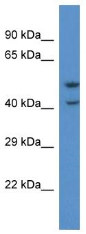 Western blot - GPCR GPR103 antibody (ab113878)