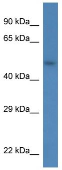 Western blot - Syndecan 3 antibody (ab113893)