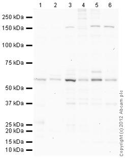 Western blot - Anti-TXNRD1 antibody (ab113904)